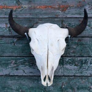 Bison skull hung on barn wood