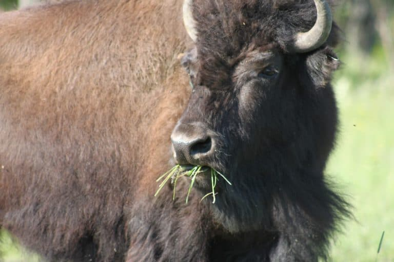 Bison eating grass